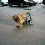 Carut pentru un caine paralizat la picioarele din spate 0724995357