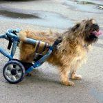 Caruturi pentru animale paralizate cu picioarele din spate sau din fata