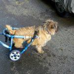 Proteza caine paralizat la picioarele din spate 0724995357