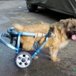 Proteza pentru pacient paralizat la picioarele din spate 0724995357