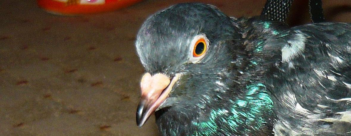 Proteza porumbel